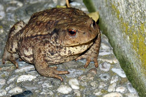 bufo-alvarius-small-1